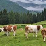 LATTE E CARNE: NO DEI CONSUMATORI AD ANIMALI CHE SOFFRONO