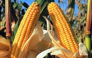 OGM, PRESIDENTE ZAIA: SENTENZA UE E' SPADA DI DAMOCLE