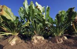 AGRICOLTURA: REGIONE VENETO, 200 EURO DI CONTRIBUTO AD ETTARO PER COLTIVARE BARBABIETOLE