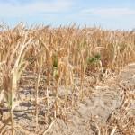 SICCITÀ: REGIONE VENETO, DANNI FINO A 170 MLN DI EURO NEL COMPARTO AGRICOLO
